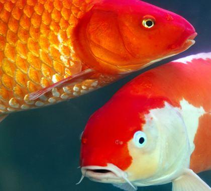 Cá chép vàng sống